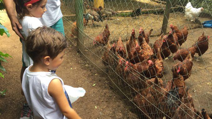 alimentando as galinhas no mini zoo da fazenda