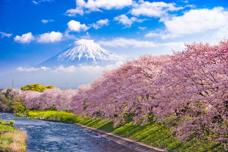 sakura-monte-fuji
