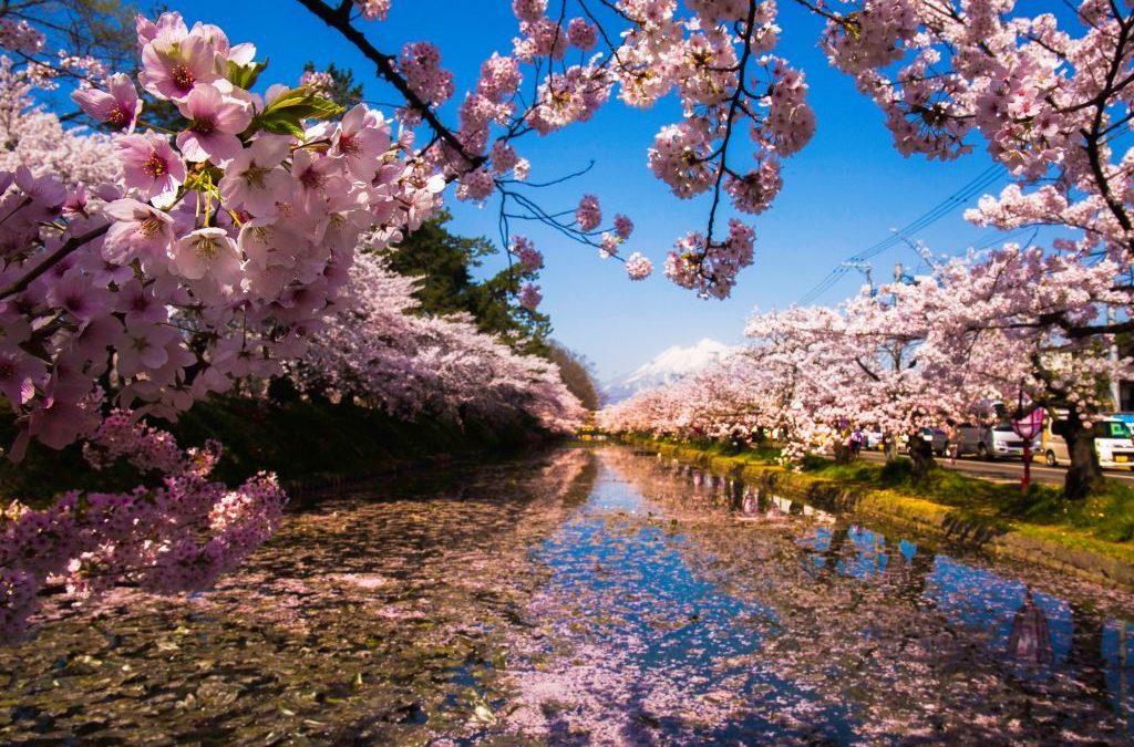Sakura: a temporada de cerejeiras do Japão