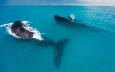 Onde ver baleia jubarte no Brasil